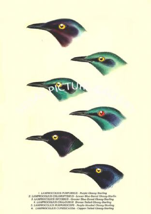 LAMPROCOLIUS PURPUREUS - Purple Glossy Starling, Bronze-Tailed, Purple-Headed, Copper-Tailed